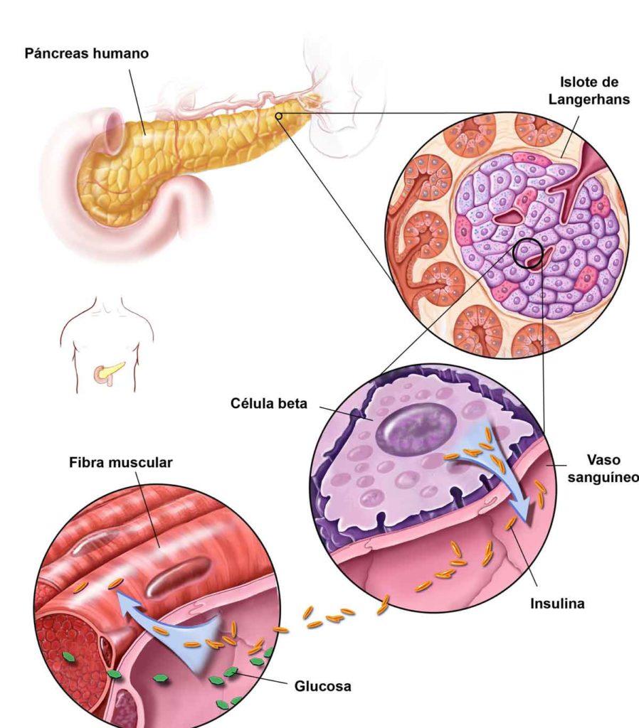 Figura 2. Producción de insulina en el páncreas humano: las células beta se encuentran junto a los vasos sanguíneos que fluyen desde el páncreas, donde liberan la insulina a la sangre. La insulina es necesaria para que las células puedan captar la glucosa y utilizarla como energía.